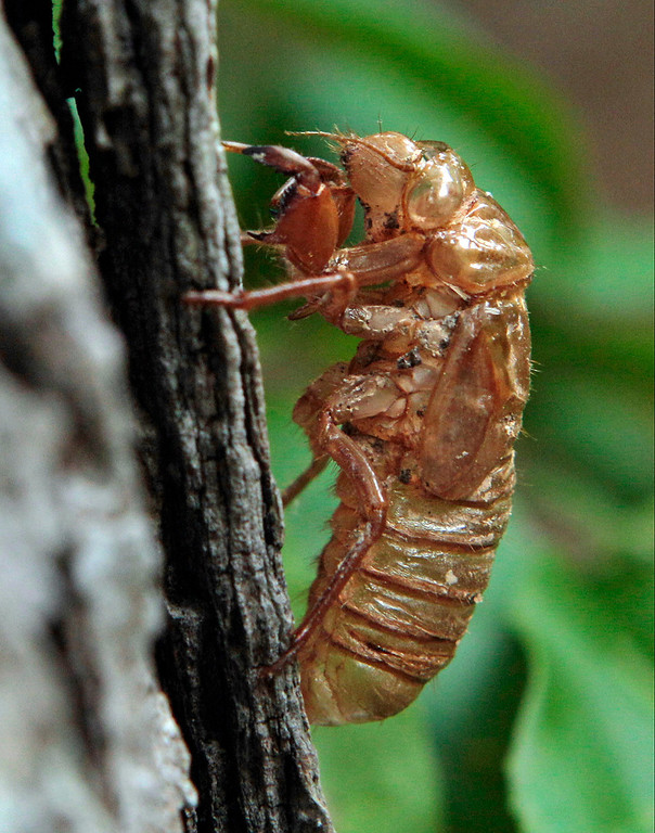 . An exoskeleton of a 13-year cicada clings to a tree in Chapel Hill, N.C., Wednesday, May 11, 2011. Portions of the southern states are currently experiencing the emergence of the periodic cicadas, which tunnel their way to the surface to shed their skin and mate after 13 years underground. (AP Photo/Gerry Broome)