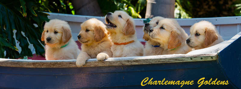 Charlemagne Golden Puppies 6.12.16