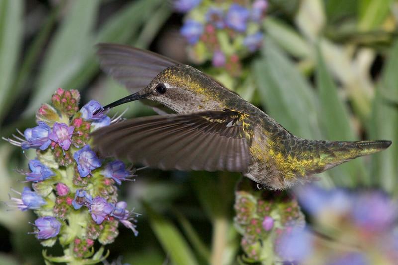 Hummingbirds  8719.jpg