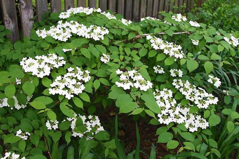 Vibernum in full bloom