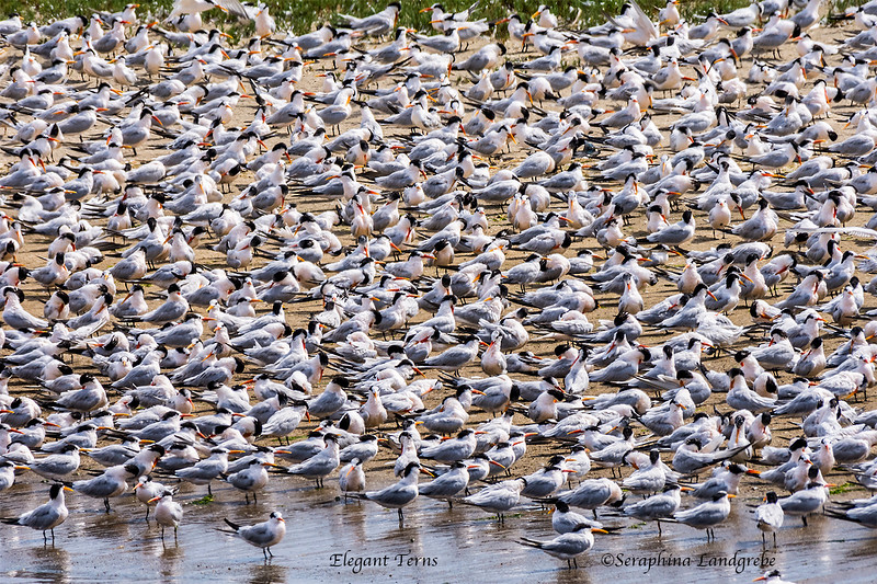 _DSC2108Flock Elegant Terns.jpg
