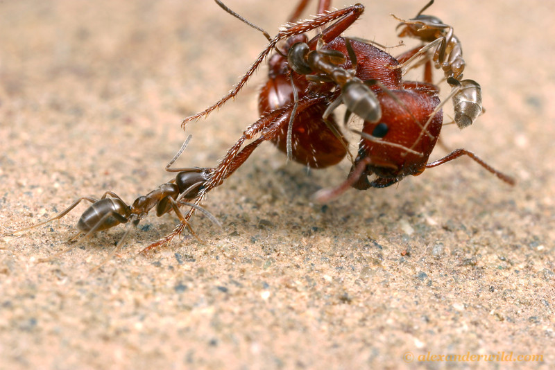 Argentine ants (Linepithema humile), an aggressive pest species introduced by human commerce to California, attack a native Pogonomyrmex harvester ant.  Native ants in many places around the world have disappeared in areas invaded by Argentine ants.   Davis, California, USA