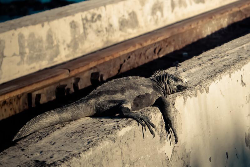 marine iguana sleeping in sun.jpg