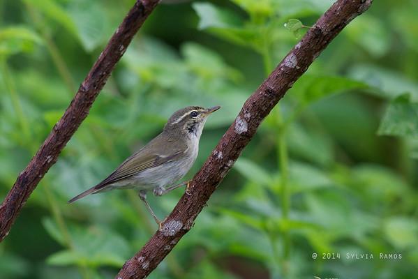 Japanese Leaf Warbler