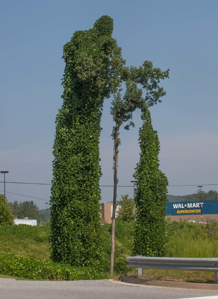 Tree in Dahlonega, Ga covered in kudzu.