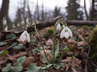 Sněženky na Hrušíně