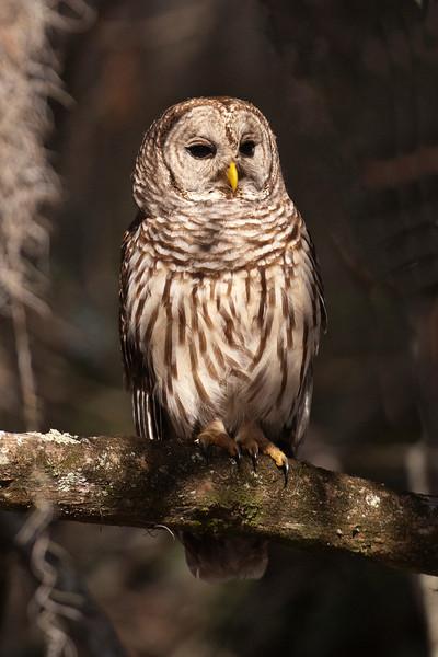 Owl - Barred - Lake Toho - Kissimmee, FL - 01