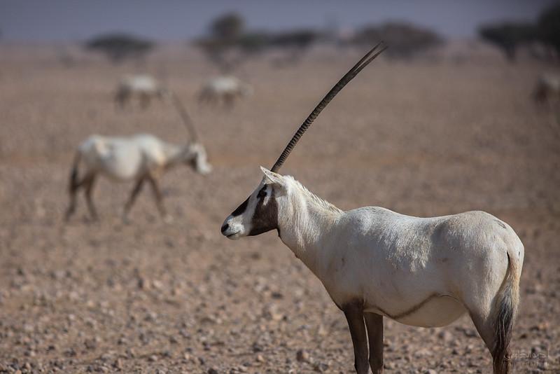 Arabian Oryx (62).jpg