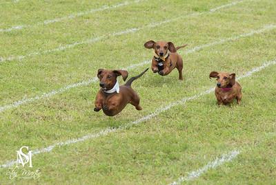 Buda Weiner Dog Races