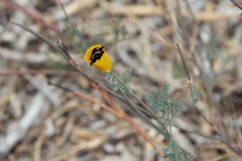 California Poppy, Eschscholzia californica with Bumblebee.