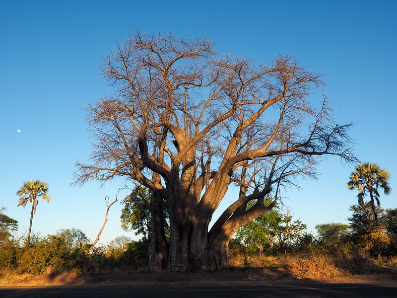 The Big Tree in Victoria Falls, ZImbabwe