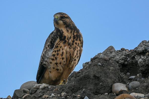 8-7-17 *^Swainson's Hawks - Cabela's