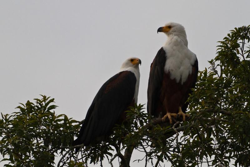 African FIsh Eagle / Schreiseeadler
