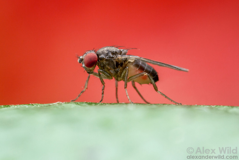 Drosophila pseudoobscura