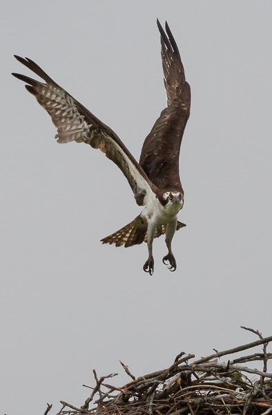 Osprey coming in for a landing