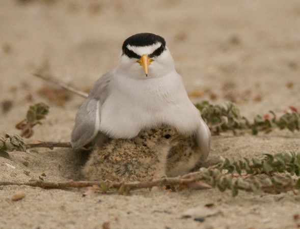 Least Tern Sternula antillarum