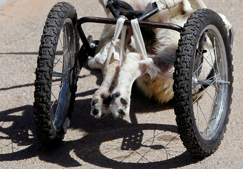 ". The hind paws of Abayed, a six-year-old herding dog, are seen attached to a specially-made wheeled walking aid inside the Humane Center for Animal Welfare near Amman on February 26, 2013. The dog, whose name means ""white\"", was hospitalized and treated after a bullet pierced his spine and paralyzed him two years ago.   REUTERS/Ali Jarekji"
