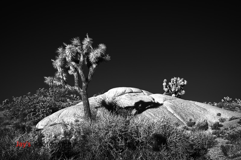 DSCF4782_infrared_iridentJoshua_Tree_NP copy_DXO copy.jpg