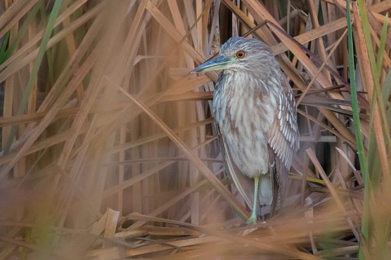 Black-crowned Night Heron Juv. Aransas TX 2020-1.jpg