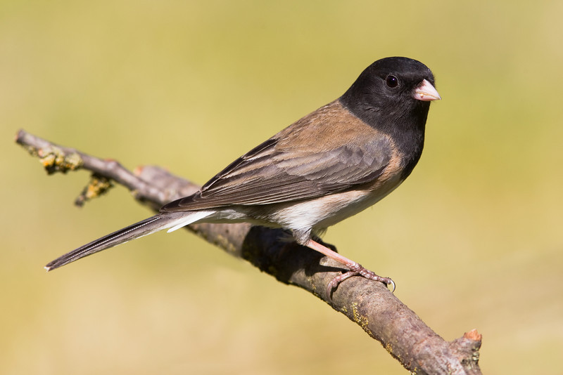 "Dark-eyed Junco - ""Oregon Junco"""