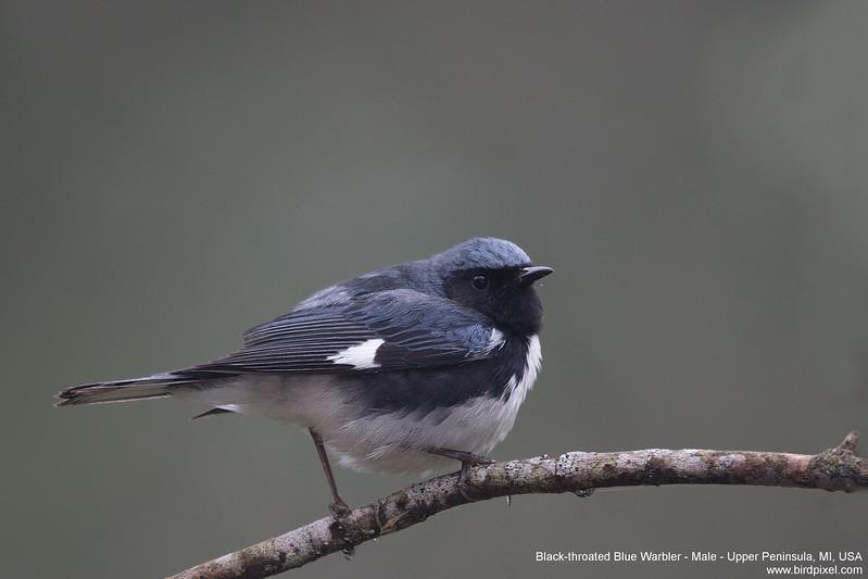 Black-throated Blue Warbler - Male - Upper Peninsula, MI, USA