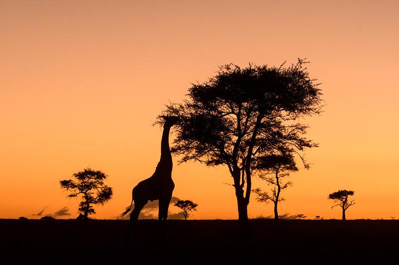 Giraffe Sillhouette at dawn