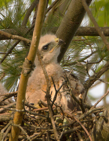 Red Tail Chicks