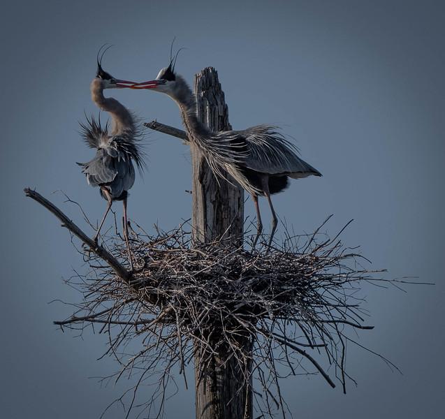 _5008032-Edit Great Blue Heron pair beak to beak.jpg