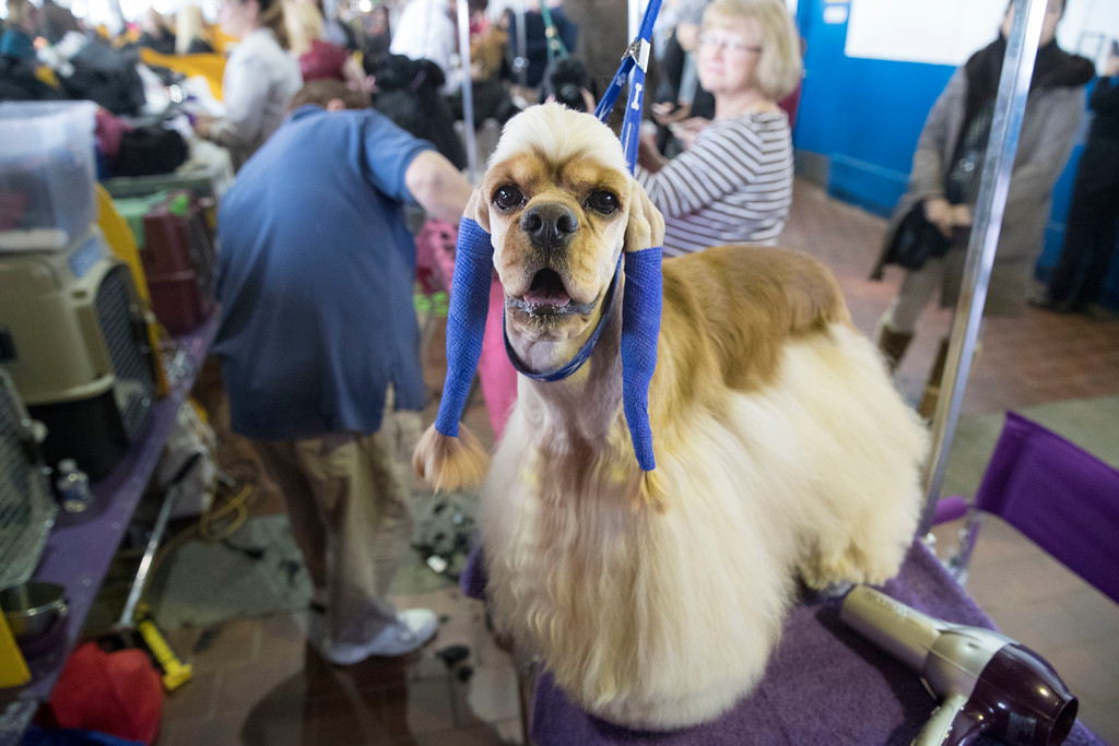 . George, an American cocker spaniel, has his ears wrapped after being groomed in the benching area during the 141st Westminster Kennel Club Dog Show, Tuesday, Feb. 14, 2017, in New York. (AP Photo/Mary Altaffer)