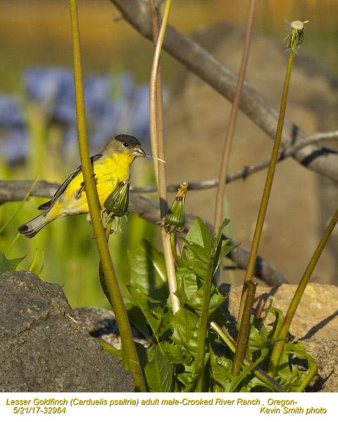 Lesser Goldfinch M32964.jpg