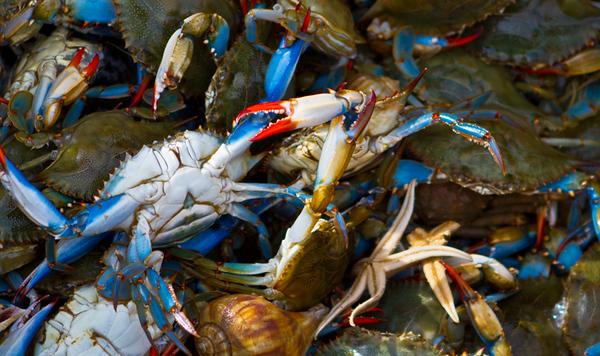 blue claw crab 2
