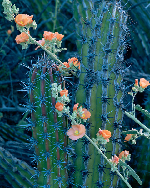 Tres Virgenes, Baja Sur, MEX/ Galloping cactus (Machaerocereus gummosus) with flowering globemallow (Sphaeralcea sp.). 393v12
