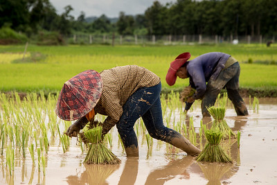 Rice Planting in Laos, SE Asia