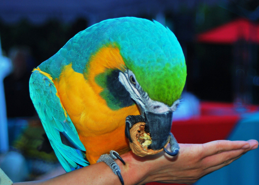 . Oscar, a colorful blue and gold macaw, at the Greater Los Angeles Zoo Association\'s Sunset Safari.  (Photo by Michaelyn Straub for the Daily News)