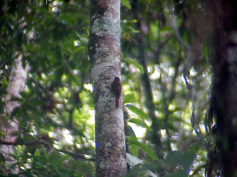 Wedge-billed Woodcreeper at Rancho Naturalista Costa Rica 2-13-03 (50898344)