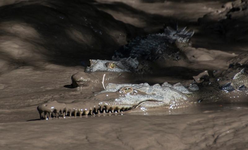 Costa Rica_Animals_Crocodiles-3.jpg
