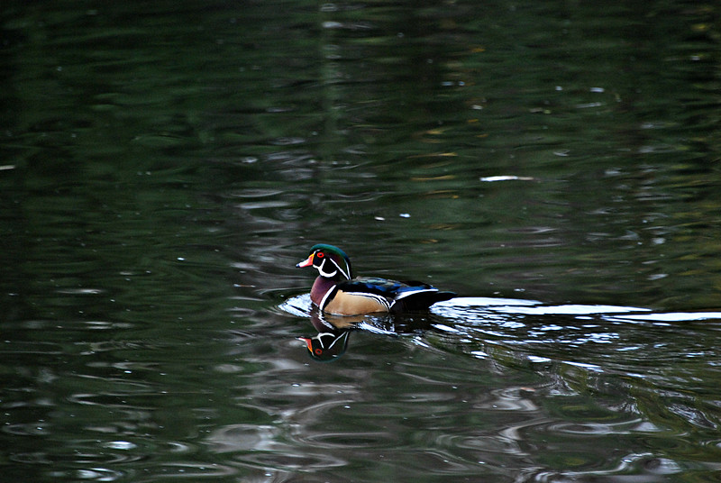 Wood Duck, Seattle WA