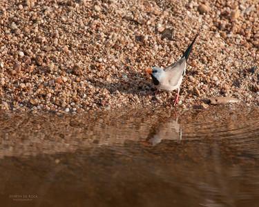 Long-tailed Finch (Poephila acuticauda)