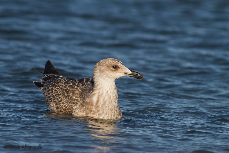 Juvenile Yellow-headed Gull; Eastern beach, Gibraltar, UK.