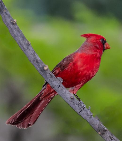 Backyard Birds 3-19-2017b.jpg