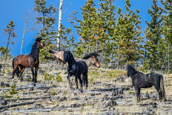 12-30-15 Alberta Wild Horses - Part 1 - Blue Sky