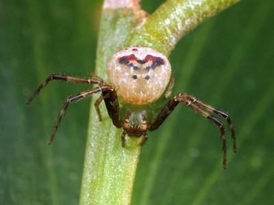 Unplaced Thomisidae