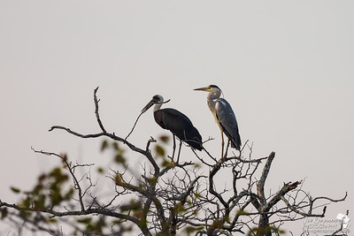 First Light with a Heron and Stork