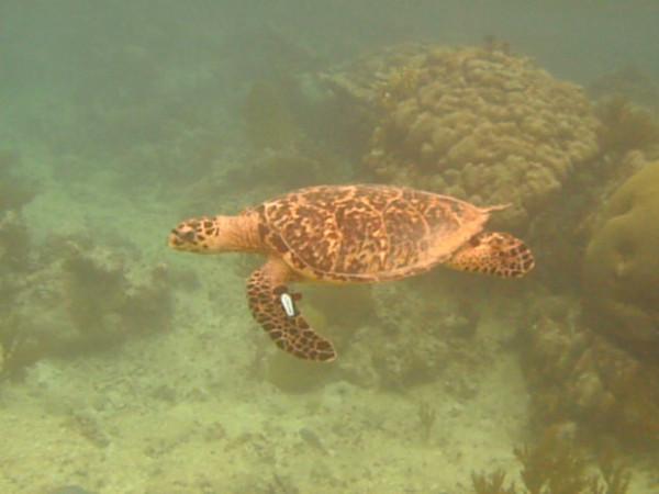 Playing with a Sea Turtle. Carlos Rosario Beach, Culebra.