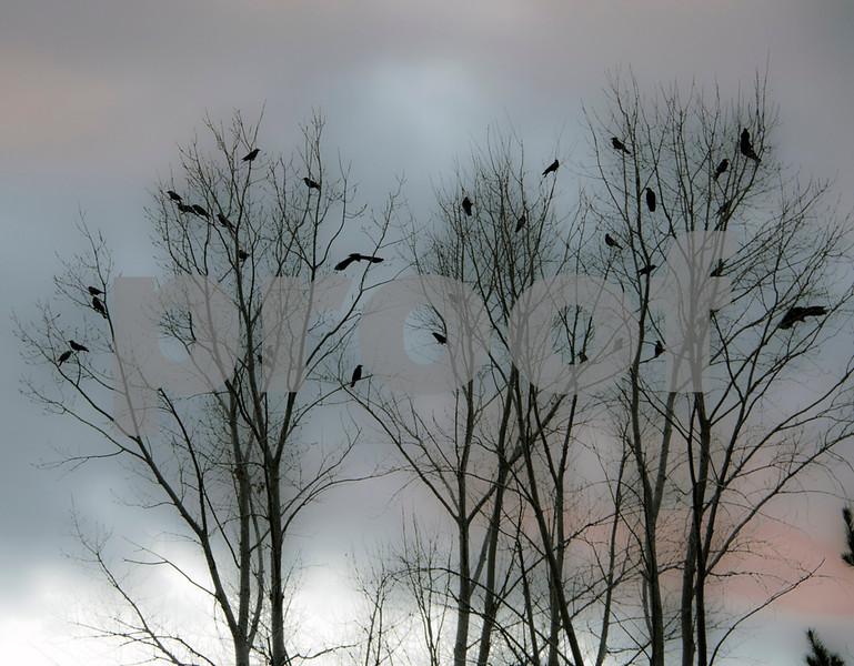 crows in tree sunset.jpg