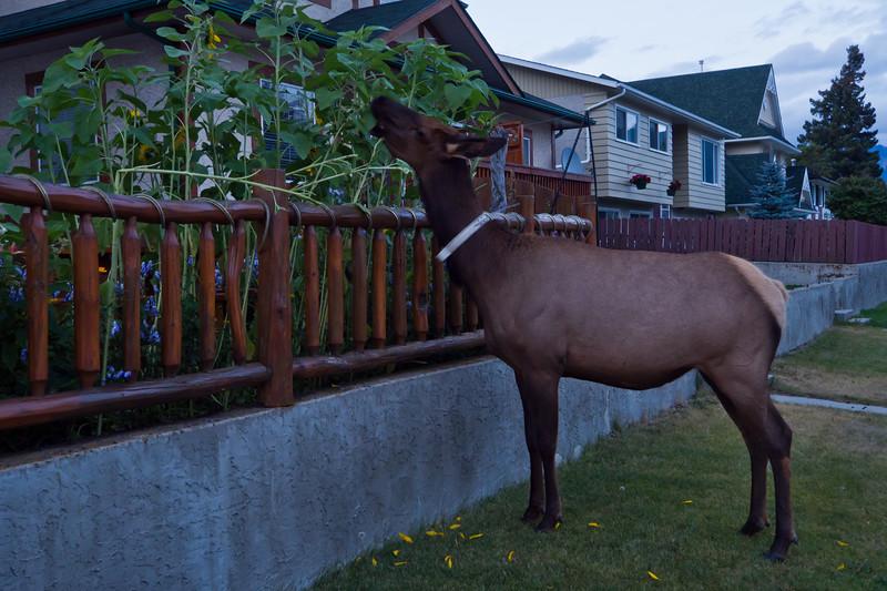 Elk eating flowers in Jasper