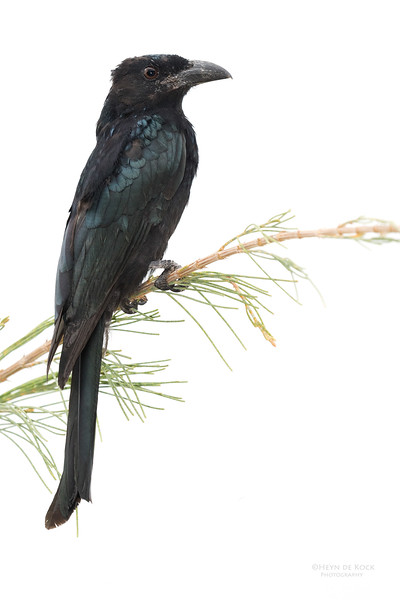 Spangled Drongo, Inskip Point, QLD, March 2017-1.jpg