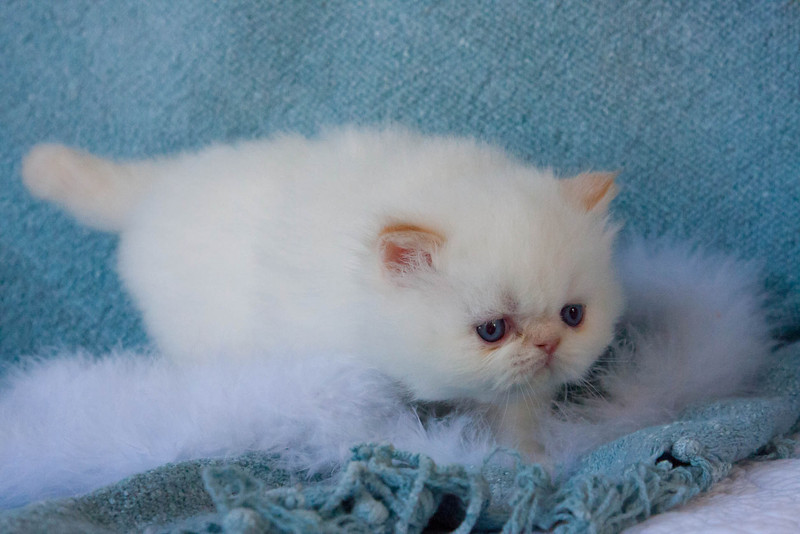 Himi_Kittens_Nov30-8044.jpg