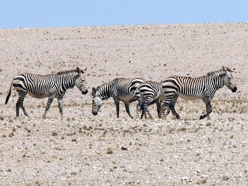 P3220196-desert-zebras.JPG