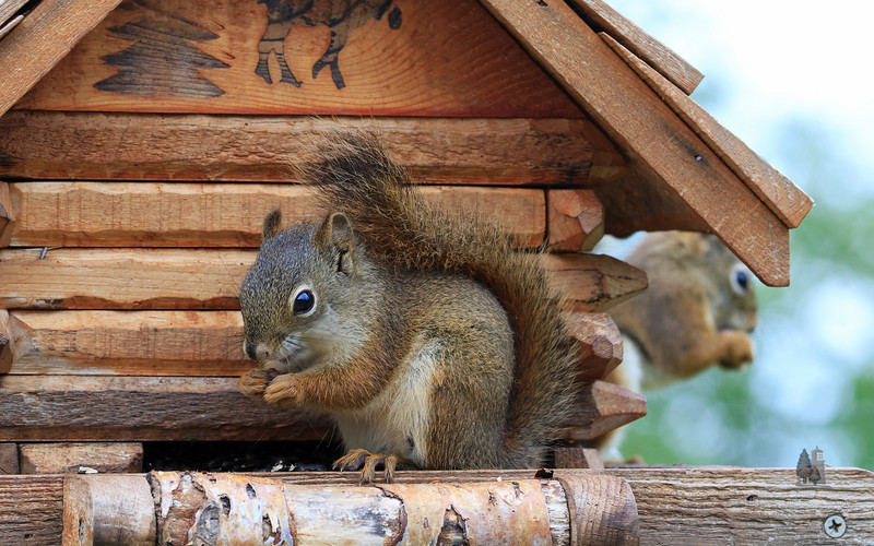 red_squirrel6.jpg